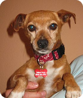 Chihuahua Mix Dog for adoption in Salem, Oregon - Wanda