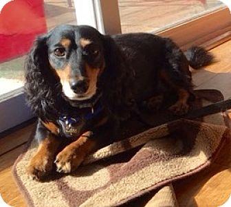Dachshund Dog for adoption in Oak Ridge, New Jersey - Buddy
