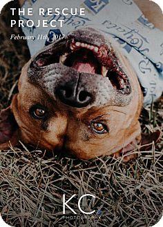Pit Bull Terrier Mix Dog for adoption in Overland Park, Kansas - Mugsy