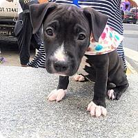 Adopt A Pet :: Shayla (pittie 6/6) - New York, NY