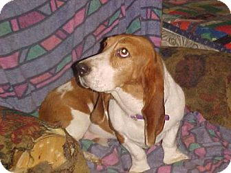 Basset Hound Dog for adoption in Cantonment, Florida - Brianna