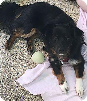 King Charles Spaniel/Australian Shepherd Mix Dog for adoption in Thousand Oaks, California - Ozzy