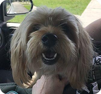 Silky Terrier Dog for adoption in Boynton Beach, Florida - Juno