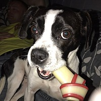 Adopt A Pet :: Abby - Indianapolis, IN