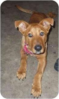 Golden Retriever/Labrador Retriever Mix Puppy for adoption in Bay City, Michigan - Dexter~~Adopted