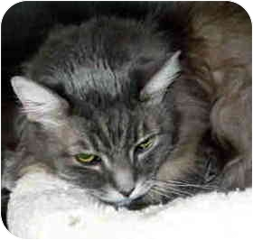 Domestic Longhair Cat for adoption in San Clemente, California - EMILY