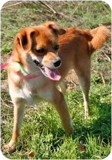 Jindo/Chihuahua Mix Dog for adoption in Los Angeles, California - Weasley