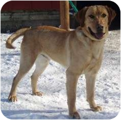 Labrador Retriever Dog for adoption in Osseo, Minnesota - Tyler