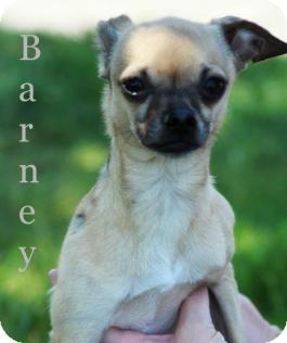 Chihuahua Mix Dog for adoption in mishawaka, Indiana - Barney