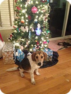Beagle/Wirehaired Fox Terrier Mix Puppy for adoption in Plainfield, Illinois - Jingle
