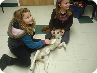 Beagle Dog for adoption in Buffalo, New York - Max: Blind