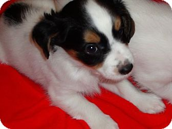 Australian Shepherd Mix Puppy for adoption in Hopkinsville, Kentucky - Snoopy