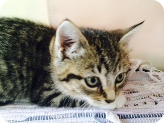Domestic Shorthair Kitten for adoption in Long Beach, New York - Dawn