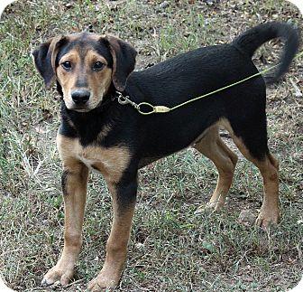 Bernese Mountain Dog Mix Puppy for adoption in Brattleboro, Vermont - Noah