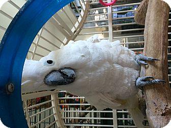 Cockatoo for adoption in Punta Gorda, Florida - Charley