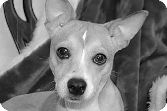 Rat Terrier Mix Dog for adoption in Moody, Alabama - Frogger