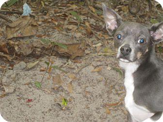 Italian Greyhound/Chihuahua Mix Dog for adoption in Palm Harbor, Florida - Izzy