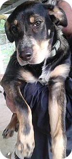 Alaskan Malamute/Beagle Mix Dog for adoption in Vancouver, Washington - Bear Bear