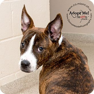 Pit Bull Terrier Mix Puppy for adoption in Troy, Ohio - Angus-ADOPTED