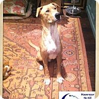Adopt A Pet :: Sampson - Holmes Beach, FL