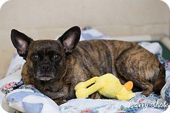 Boston Terrier/Pug Mix Dog for adoption in Greensburg, Pennsylvania - Sadie