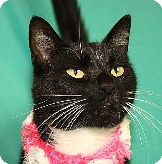 Domestic Shorthair Cat for adoption in Jackson, Michigan - Alma