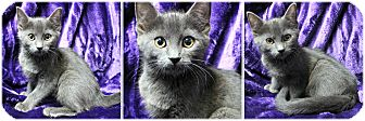 Domestic Mediumhair Kitten for adoption in Forked River, New Jersey - Charlotte