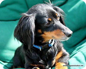 Dachshund Dog for adoption in Spokane, Washington - Ben, pending home