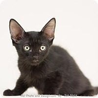 Adopt A Pet :: Jax - Fountain Hills, AZ