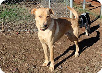 Labrador Retriever Mix Dog for adoption in Salem, New Hampshire - COUNTRY