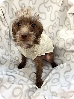 Cairn Terrier/Poodle (Miniature) Mix Dog for adoption in Phoenix, Arizona - Harley