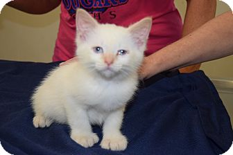 Polydactyl/Hemingway Kitten for adoption in Hazard, Kentucky - Butterball