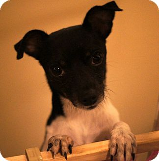 Fox Terrier (Smooth)/Chihuahua Mix Dog for adoption in Port Clinton, Ohio - SOOKIE