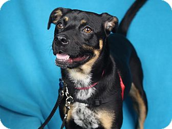 Shepherd (Unknown Type)/Beagle Mix Dog for adoption in Minneapolis, Minnesota - Bella