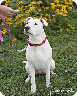 American Staffordshire Terrier Dog for adoption in Middletown, Delaware - Princess