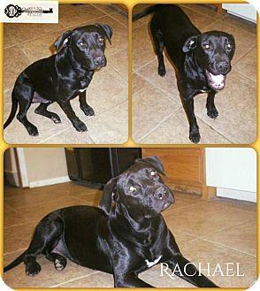 Labrador Retriever Mix Dog for adoption in DeForest, Wisconsin - Rachel