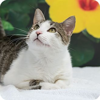 Domestic Shorthair Cat for adoption in Houston, Texas - Donahue