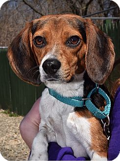 Beagle Mix Dog for adoption in Breinigsville, Pennsylvania - Penny **In Foster Home**
