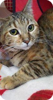 Domestic Shorthair Cat for adoption in LaGrange Park, Illinois - Reese