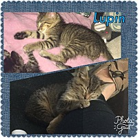 Adopt A Pet :: Lupin - Jerseyville, IL