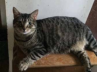 Domestic Shorthair Cat for adoption in Bear, Delaware - Nadine