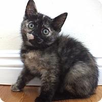 Adopt A Pet :: Pinto - Los Angeles, CA