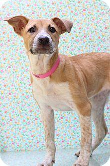 Pointer Mix Puppy for adoption in Waldorf, Maryland - Coca Cola