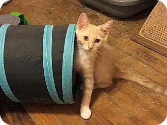 Domestic Shorthair Kitten for adoption in Wilmore, Kentucky - Jimmy
