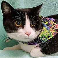 Domestic Shorthair Cat for adoption in Gahanna, Ohio - Christina