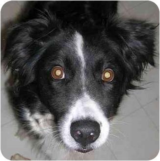 Border Collie/Australian Shepherd Mix Dog for adoption in Glenrock, Wyoming - Rosie