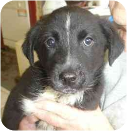 Labrador Retriever Mix Puppy for adoption in Old Bridge, New Jersey - Kam
