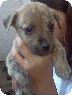 Catahoula Leopard Dog/Labrador Retriever Mix Puppy for adoption in Simi Valley, California - Tinker