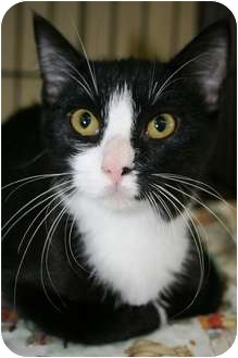Domestic Shorthair Kitten for adoption in Frederick, Maryland - Andy