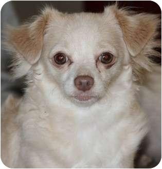 Chihuahua Dog for adoption in San Pedro, California - Sandy